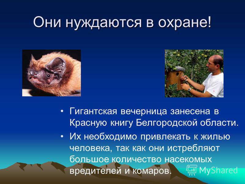 Они нуждаются в охране! Гигантская вечерница занесена в Красную книгу Белгородской области. Их необходимо привлекать к жилью человека, так как они истребляют большое количество насекомых вредителей и комаров.