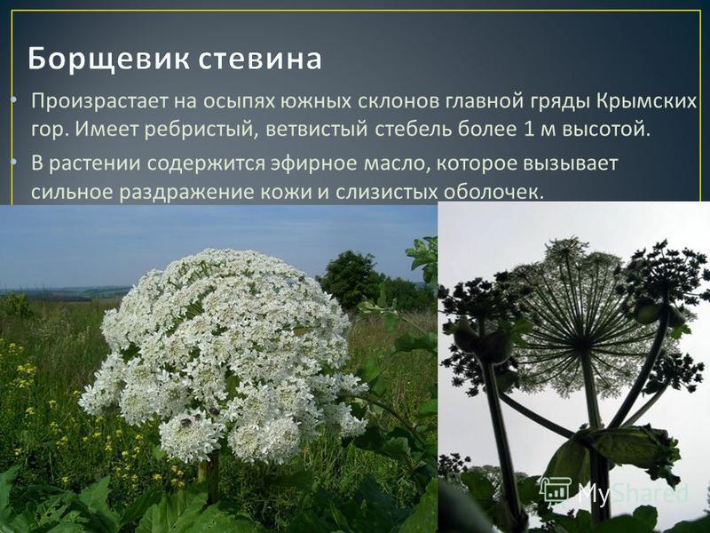 Произрастает на осыпях южных склонов главной гряды Крымских гор. Имеет ребристый, ветвистый стебель более 1 м высотой. В растении содержится эфирное масло, которое вызывает сильное раздражение кожи и слизистых оболочек.