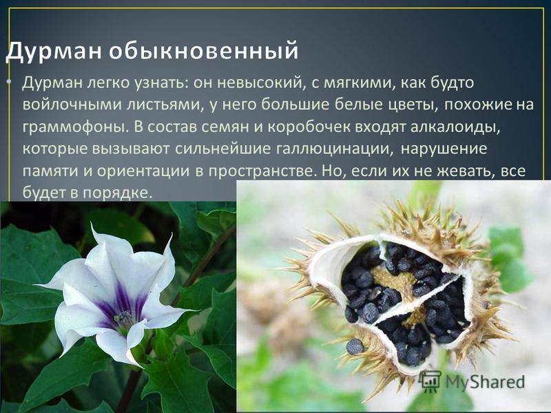 Дурман легко узнать : он невысокий, с мягкими, как будто войлочными листьями, у него большие белые цветы, похожие на граммофоны. В состав семян и коробочек входят алкалоиды, которые вызывают сильнейшие галлюцинации, нарушение памяти и ориентации в пр