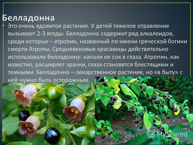 Это очень ядовитое растение. У детей тяжелое отравление вызывают 2-3 ягоды. Белладонна содержит ряд алкалоидов, среди которых – атропин, названный по имени греческой богини смерти Атропы. Средневековые красавицы действительно использовали белладонну