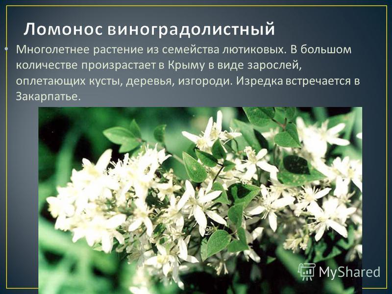 Многолетнее растение из семейства лютиковых. В большом количестве произрастает в Крыму в виде зарослей, оплетающих кусты, деревья, изгороди. Изредка встречается в Закарпатье.
