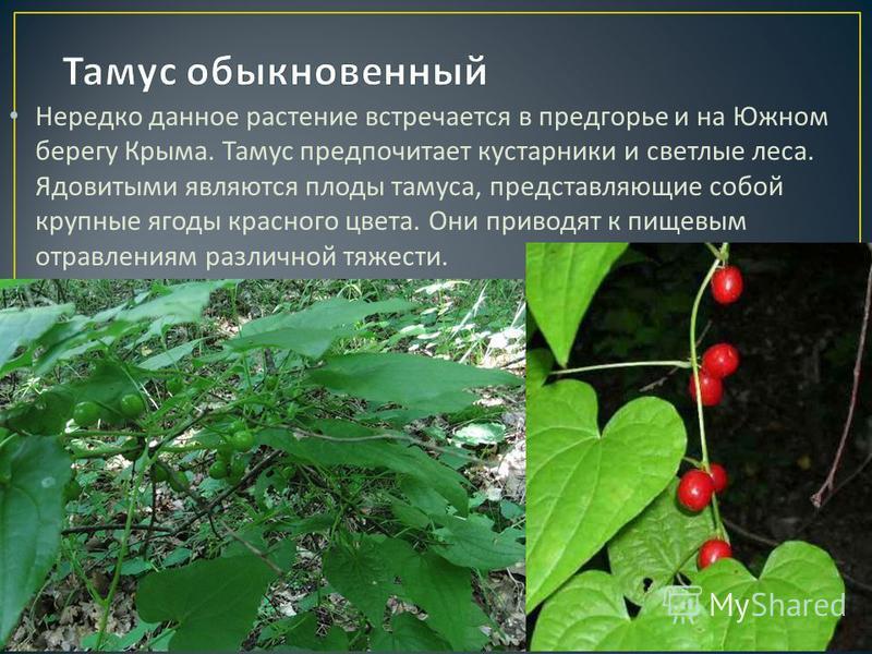 Нередко данное растение встречается в предгорье и на Южном берегу Крыма. Тамус предпочитает кустарники и светлые леса. Ядовитыми являются плоды тамуса, представляющие собой крупные ягоды красного цвета. Они приводят к пищевым отравлениям различной тя