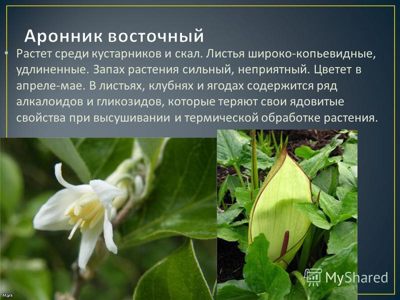 Растет среди кустарников и скал. Листья широко - копьевидные, удлиненные. Запах растения сильный, неприятный. Цветет в апреле - мае. В листьях, клубнях и ягодах содержится ряд алкалоидов и гликозидов, которые теряют свои ядовитые свойства при высушив