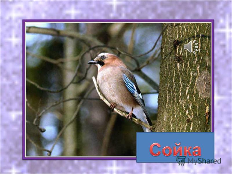 Птица оляпка, как и снегири, свиристели, чечётки прилетают к нам зимовать с севера.