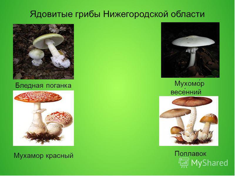 Ядовитые грибы Нижегородской области Бледная проганка Мухомо́р весе́нний Мухамор красный Поплавок