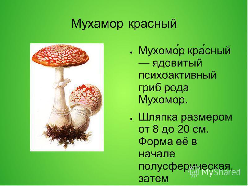 Мухамор красный Мухомо́р кра́сный ядовитый психоактивный гриб рода Мухомор. Шляпка размером от 8 до 20 см. Форма её в начале полусферическая, затем раскрывается до плоской и вогнутой. Кожица ярко-красная, различной густоты цвета, блестящая, усеяна бе