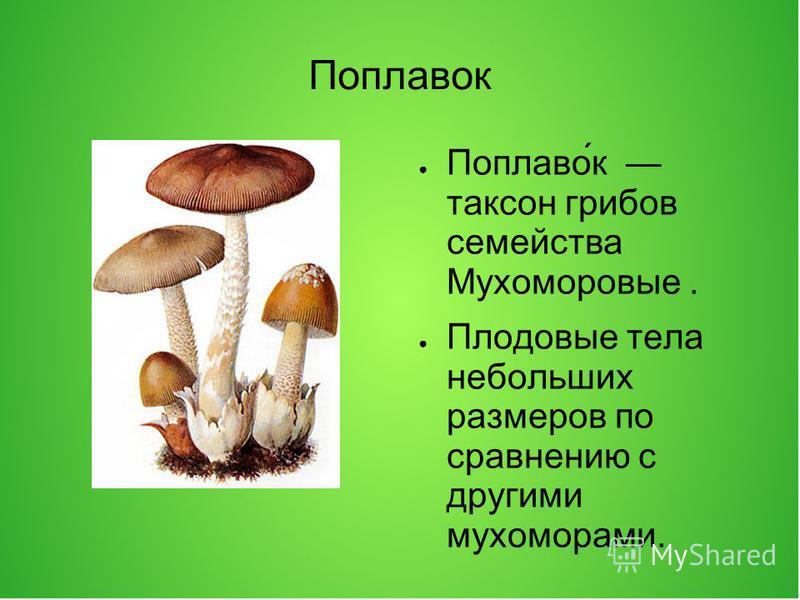 Поплавок Поплаво́к таксон грибов семейства Мухоморовые. Плодовые тела небольших размеров по сравнению с другими мухоморами. Шляпка полу яйцевидная, ширококоническая или плоская, с очень тонким бороздчатым краем, тонкомясистая или более толстая, может