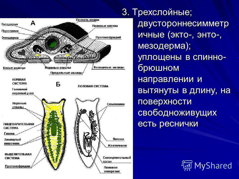 3. Трехслойные; двусторонне симметричные (экто-, энто-, мезодерма); уплощены в спинно- брюшном направлении и вытянуты в длину, на поверхности свободноживущих есть реснички
