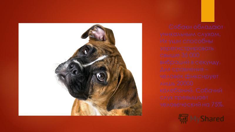 Собаки не видят мир в черно-белой гамме. Они различают желтый и синий цвета, но интенсивность их восприятия ниже, чем у людей. Красный и зеленый собаки видят как желто-серый и путают между собой.