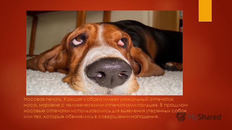 Собаки обладают уникальным слухом. Их уши способны зарегистрировать свыше 35 000 вибраций в секунду. Для сравнения – человек фиксирует лишь 20000 колебаний. Собачий слух превышает человеческий на 75%.
