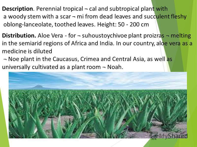 Description. Perennial tropical ¬ cal and subtropical plant with a woody stem with a scar ¬ mi from dead leaves and succulent fleshy oblong-lanceolate, toothed leaves. Height: 50 - 200 cm Distribution. Aloe Vera - for ¬ suhoustoychivoe plant proizras