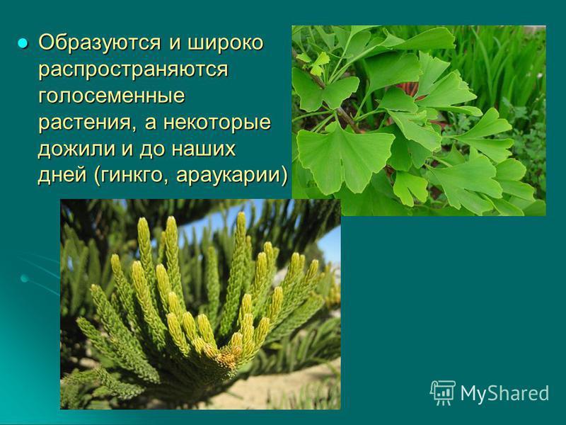 Образуются и широко распространяются голосеменные растения, а некоторые дожили и до наших дней (гинкго, араукарии) Образуются и широко распространяются голосеменные растения, а некоторые дожили и до наших дней (гинкго, араукарии)
