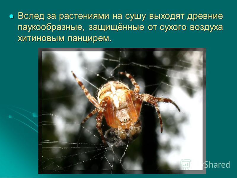 Вслед за растениями на сушу выходят древние паукообразные, защищённые от сухого воздуха хитиновым панцирем. Вслед за растениями на сушу выходят древние паукообразные, защищённые от сухого воздуха хитиновым панцирем.