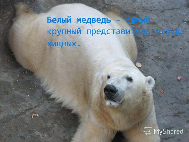 Белый медведь - самый крупный представитель отряда хищных.