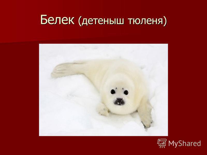 Белек (детеныш тюленя)