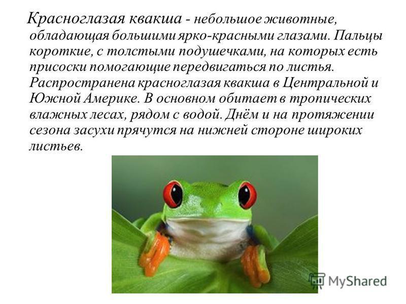 Красноглазая квакша - небольшое животные, обладающая большими ярко-красными глазами. Пальцы короткие, с толстыми подушечками, на которых есть присоски помогающие передвигаться по листья. Распространена красноглазая квакша в Центральной и Южной Америк
