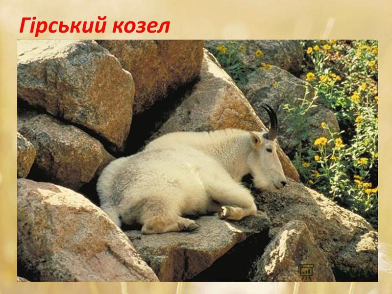 Гірський козел