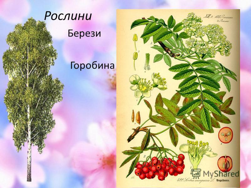 Рослини Берези Горобина