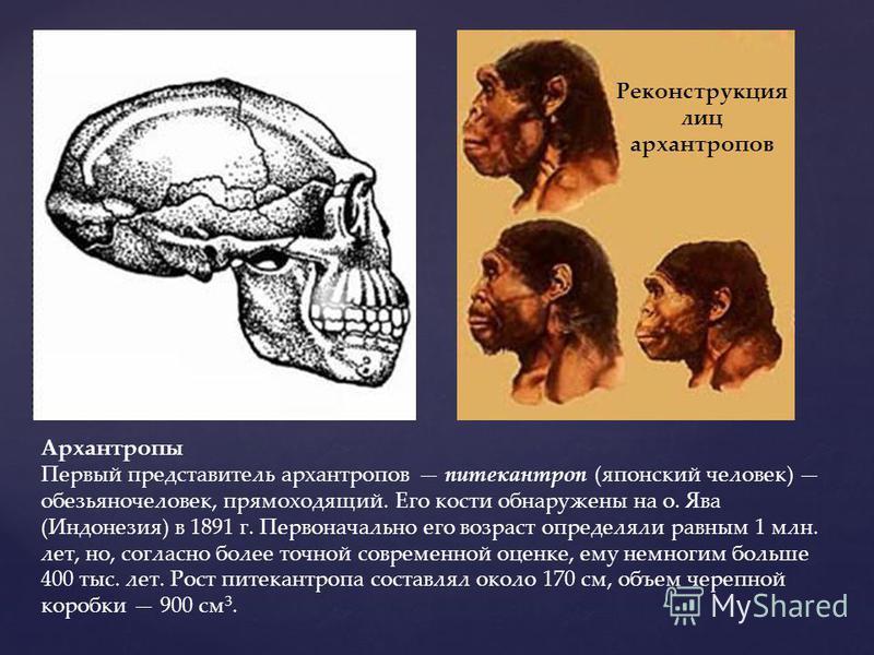 Архантропы Первый представитель архантропов питекантроп (японский человек) обезьяночеловек, прямоходящий. Его кости обнаружены на о. Ява (Индонезия) в 1891 г. Первоначально его возраст определяли равным 1 млн. лет, но, согласно более точной современн