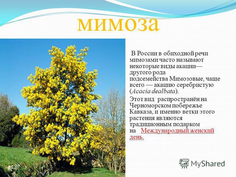 мимоза В России в обиходной речи мимозами часто называют некоторые виды акации другого рода подсемейства Мимозовые, чаще всего акацию серебристую (Acacia dealbata). Этот вид распространён на Черноморском побережье Кавказа, и именно ветки этого растен