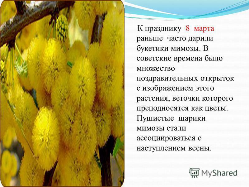 К празднику 8 марта раньше часто дарили букетики мимозы. В советские времена было множество поздравительных открыток с изображением этого растения, веточки которого преподносятся как цветы. Пушистые шарики мимозы стали ассоциироваться с наступлением