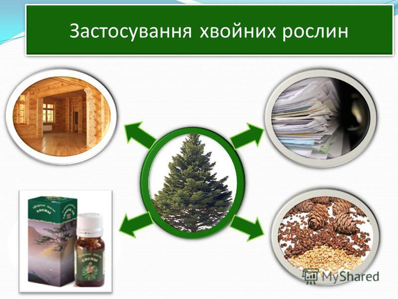 Застосування хвойных рослин