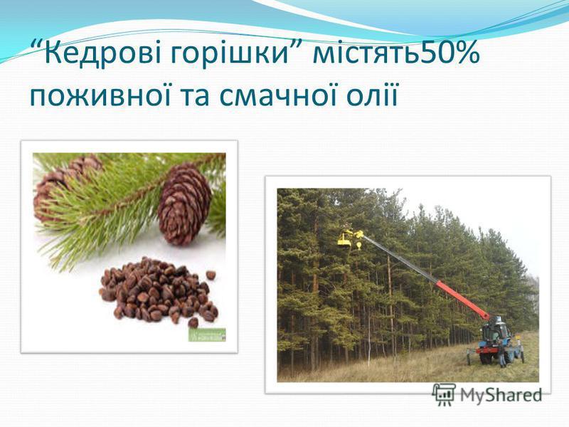 Кедрові горішки містять 50% поживної та смачної олії
