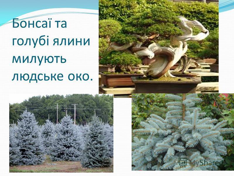 Бонсаї та голубі ялини милують людське око.