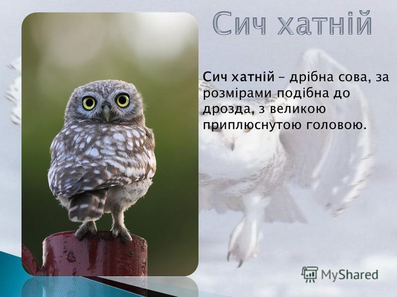 Сич хатній - дрібна сова, за розмірами подібна до дрозда, з великою приплюснутою головою.