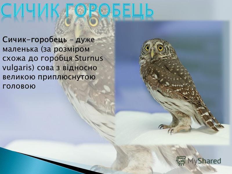 Сичик-горобець - даже маленькая (за розміром схожа до горобца Sturnus vulgaris) сова з відносно великою приплюснутою головою