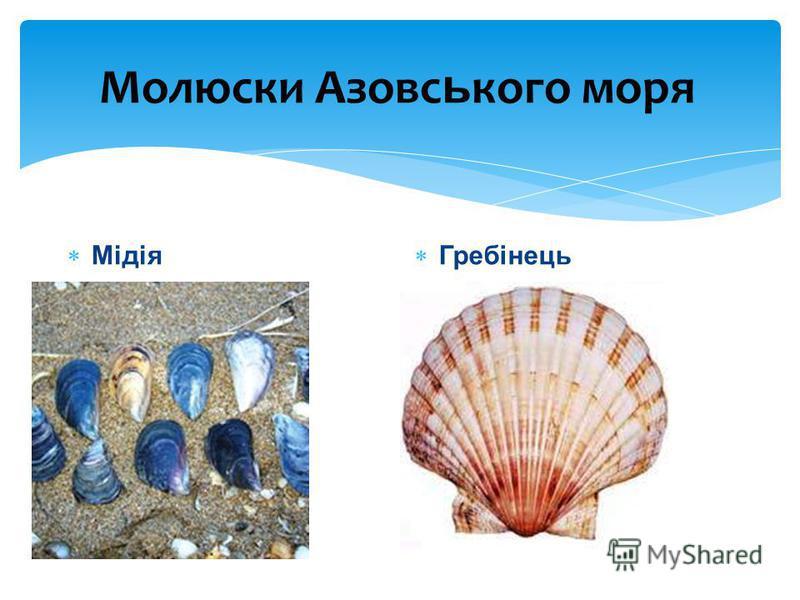 Молюски Азовс ь кого моря Мідія Гребінець