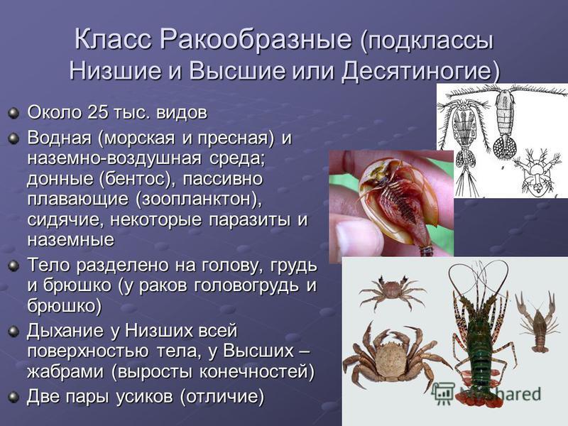 Класс Ракообразные (подклассы Низшие и Высшие или Десятиногие) Около 25 тыс. видов Водная (морская и пресная) и наземно-воздушная среда; донные (бентос), пассивно плавающие (зоопланктон), сидячие, некоторые паразиты и наземные Тело разделено на голов
