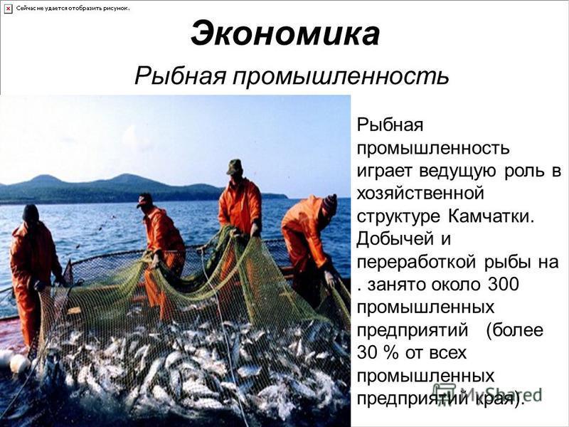 Экономика Рыбная промышленность Рыбная промышленность играет ведущую роль в хозяйственной структуре Камчатки. Добычей и переработкой рыбы на. занято около 300 промышленных предприятий (более 30 % от всех промышленных предприятий края).
