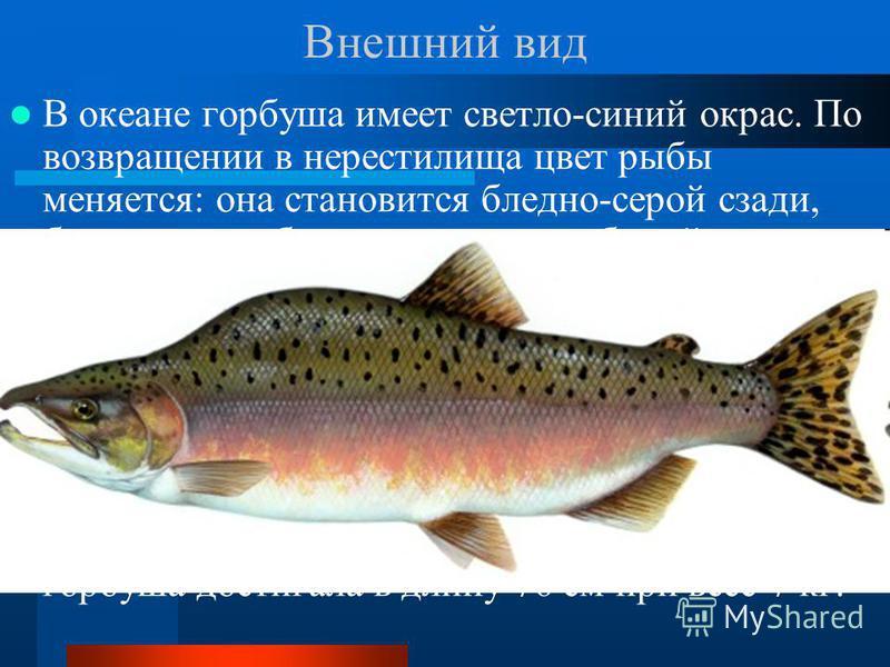 Внешний вид В океане горбуша имеет светло-синий окрас. По возвращении в нерестилища цвет рыбы меняется: она становится бледно-серой сзади, брюшко приобретает желтовато-белый оттенок. Горбуша имеет дополнительный плавник. Рот белого цвета, отсутствие