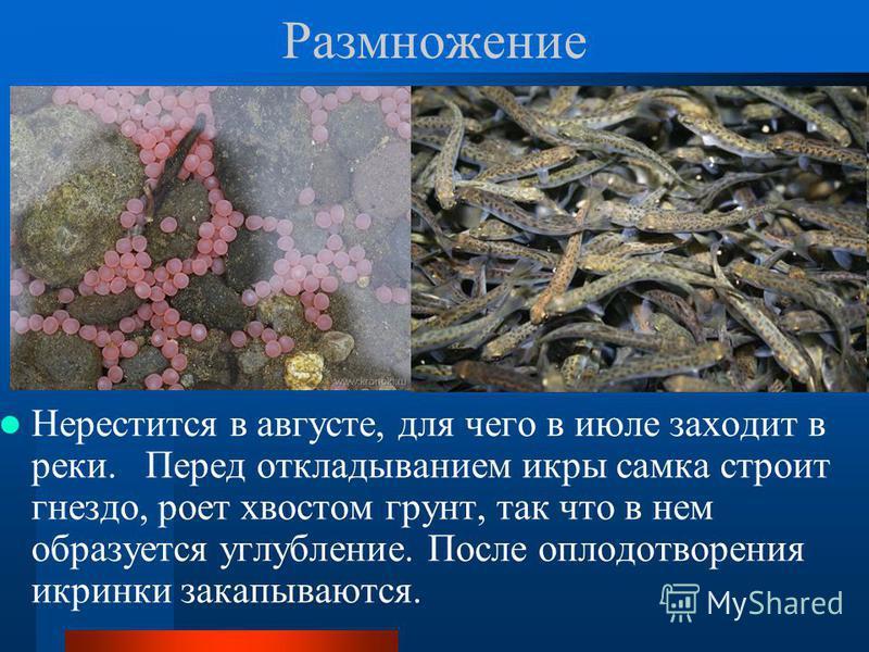 Размножение Нерестится в августе, для чего в июле заходит в реки. Перед откладыванием икры самка строит гнездо, роет хвостом грунт, так что в нем образуется углубление. После оплодотворения икринки закапываются.