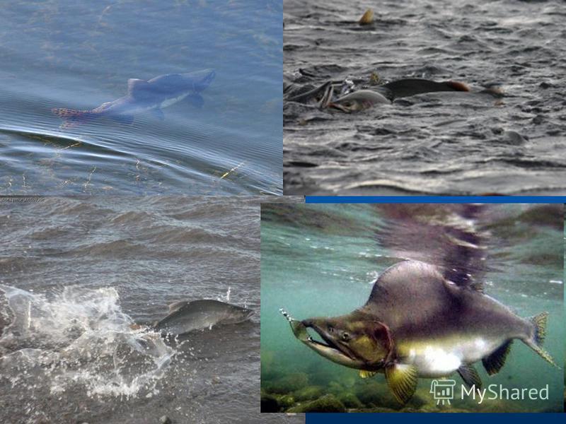 Среда обитания Горбуша водится в холодных водах, предпочитает температуру 5,6 °С. При температуре в 25,8 °С рыба погибает. Горбуша водится в прибрежных водах Тихого и Северного Ледовитого океанов. В Азии распространена вплоть до Хонсю на юге. В своё