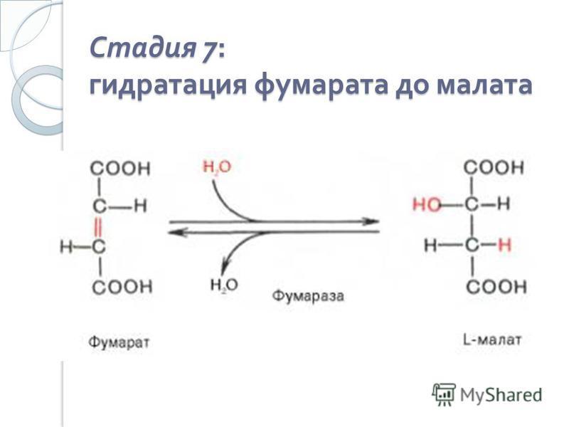 Стадия 7: гидратация фумарата до малата