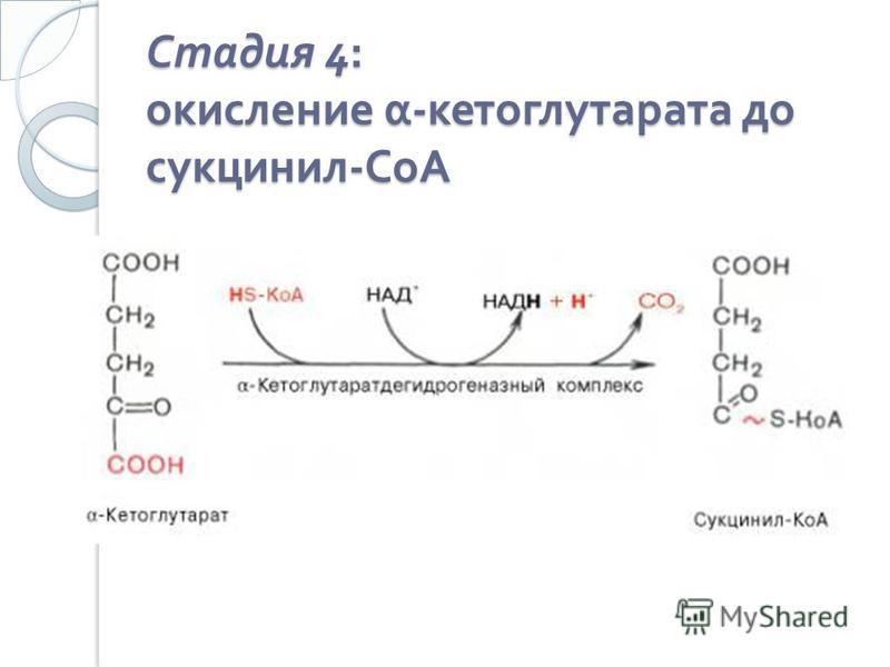 Стадия 4: окисление α - кетоглутарата до сукцинил - СоА