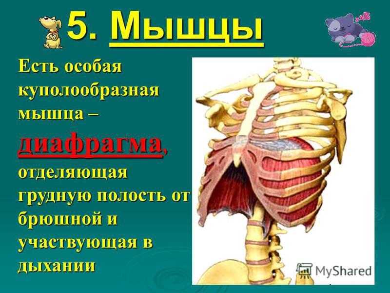 5. Мышцы Есть особая куполообразная мышца – диафрагма, отделяющая грудную полость от брюшной и участвующая в дыхании