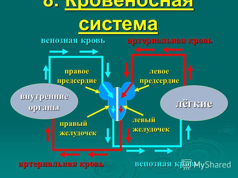 8. Кровеносная система лёгкие внутренние органы правый желудочек правое предсердие левое предсердие артериальная кровь венозная кровь артериальная кровь венозная кровь левый желудочек