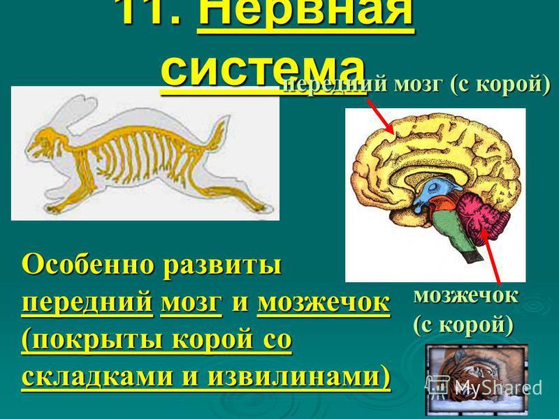 11. Нервная система Особенно развиты передний мозг и мозжечок (покрыты корой со складками и извилинами) мозжечок (с корой) передний мозг (с корой)