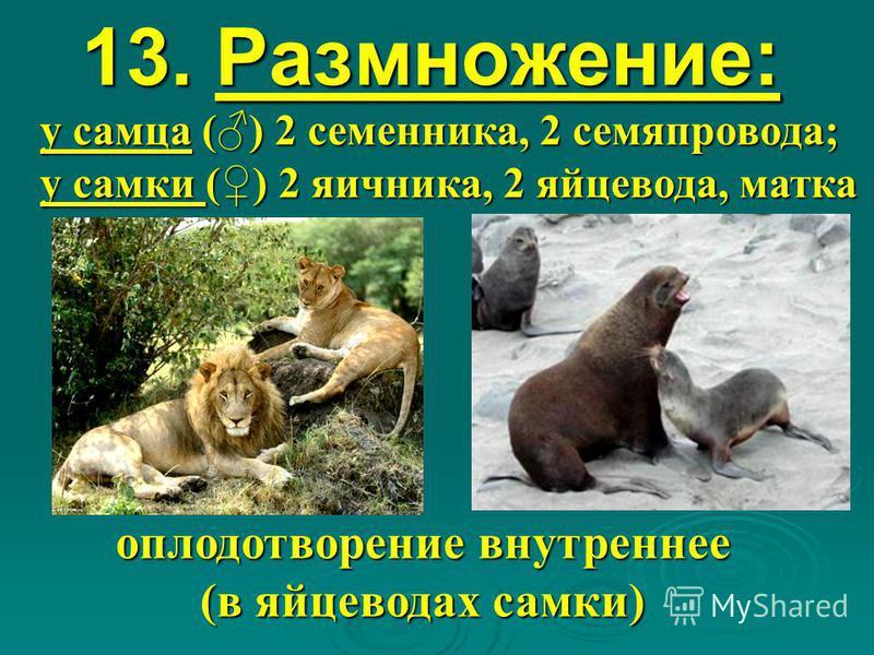 13. Размножение: оплодотворение внутреннее (в яйцеводах самки) у самца () 2 семенника, 2 семяпровода; у самки () 2 яичника, 2 яйцевода, матка