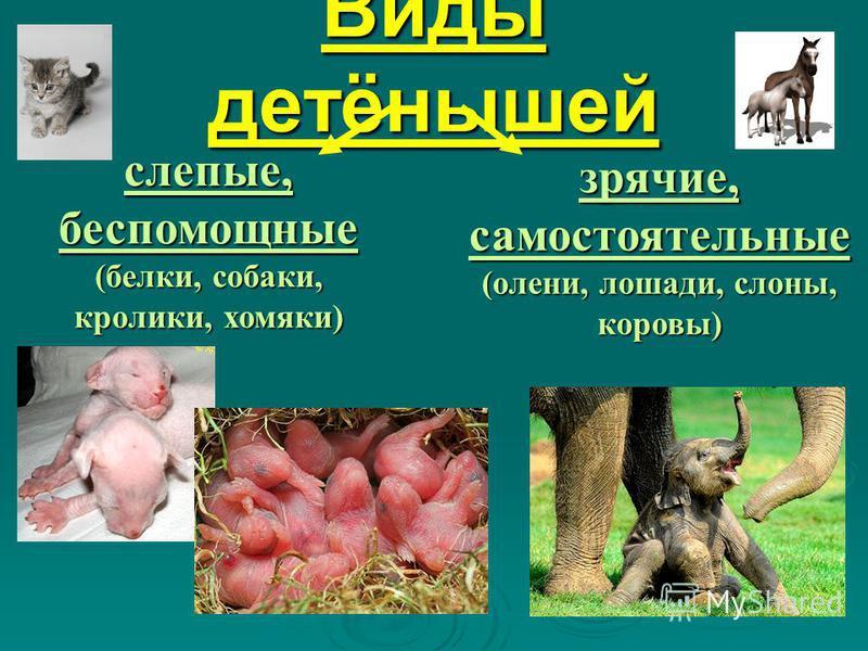 Виды детёнышей слепые, беспомощные (белки, собаки, кролики, хомяки) зрячие, самостоятельные (олени, лошади, слоны, коровы)
