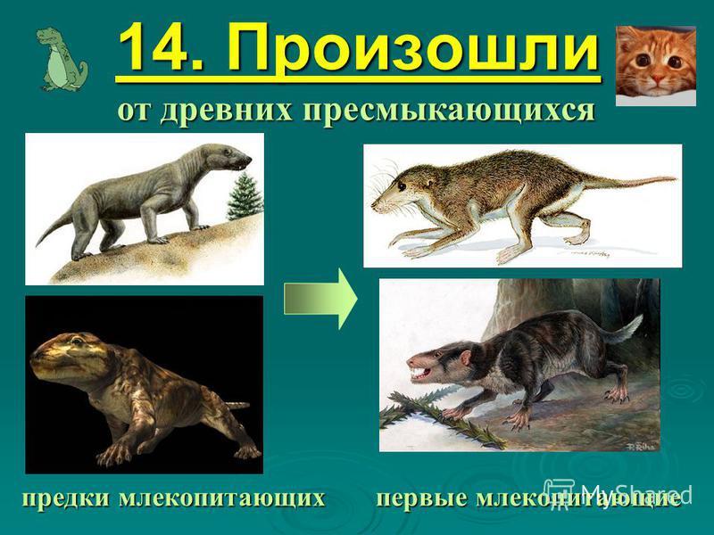 14. Произошли от древних пресмыкающихся предки млекопитающих первые млекопитающие