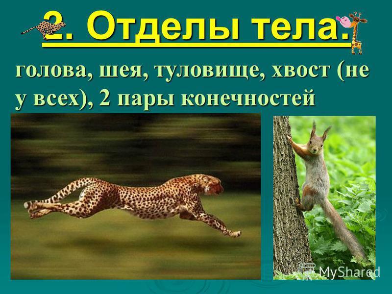 2. Отделы тела: голова, шея, туловище, хвост (не у всех), 2 пары конечностей