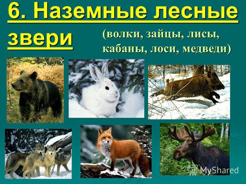 6. Наземные лесные звери (волки, зайцы, лисы, кабаны, лоси, медведи)