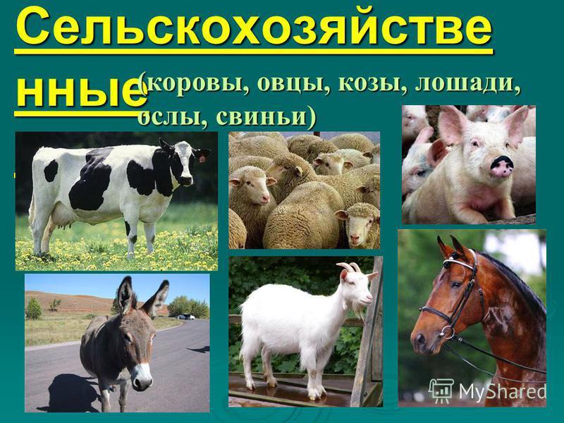 9. Сельскохозяйстве нные звери (коровы, овцы, козы, лошади, ослы, свиньи)