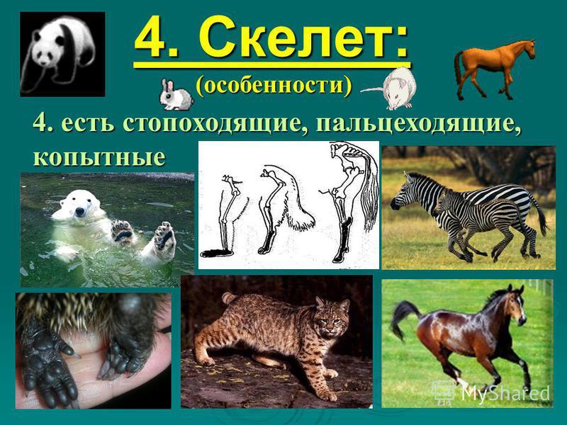 4. Скелет: (особенности) 4. есть стопоходящие, пальцеходящие, копытные