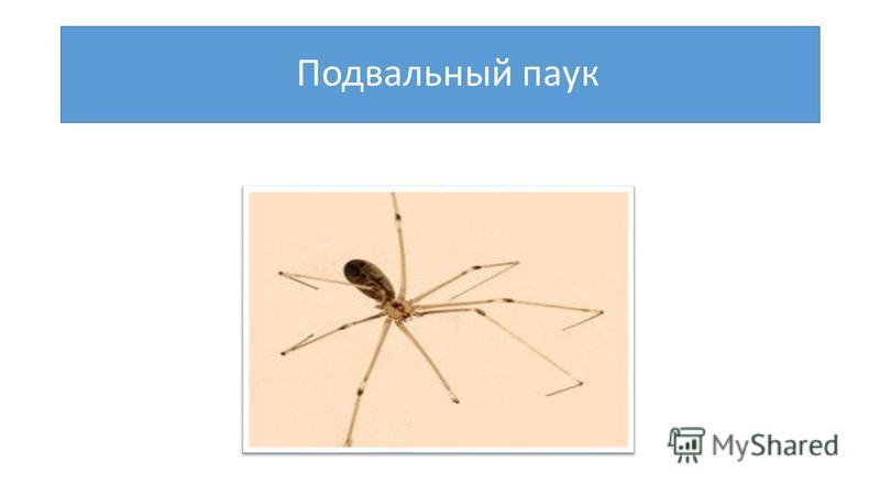 Подвальный паук