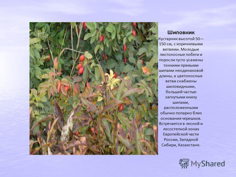 Шиповник Кустарник высотой 50 150 см, с коричневыми ветвями. Молодые листоносные побеги и поросли густо усажены тонкими прямыми шипами неодинаковой длины, а цветоносные ветви снабжены шиловидными, большей частью загнутыми книзу шипами, расположенными